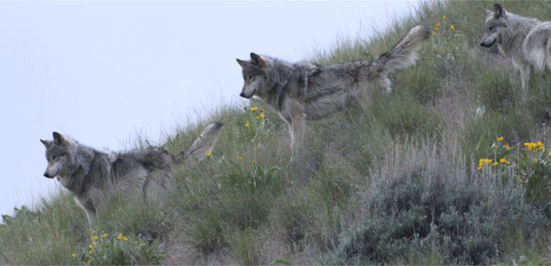 Wolves in Idaho&#39;s River of No Return Wilderness Post
