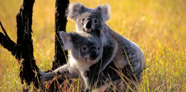 Two Koalas post