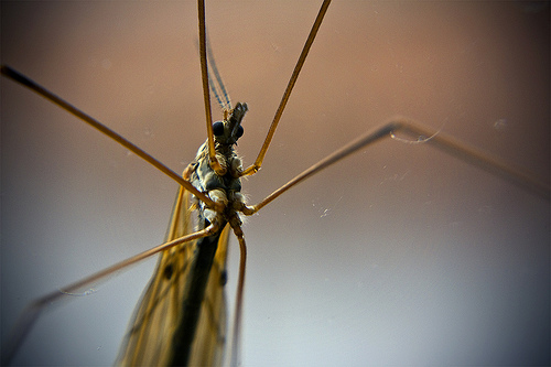 Mosquito. Photograph Credit: Flickr user Aesum via Creative Commons