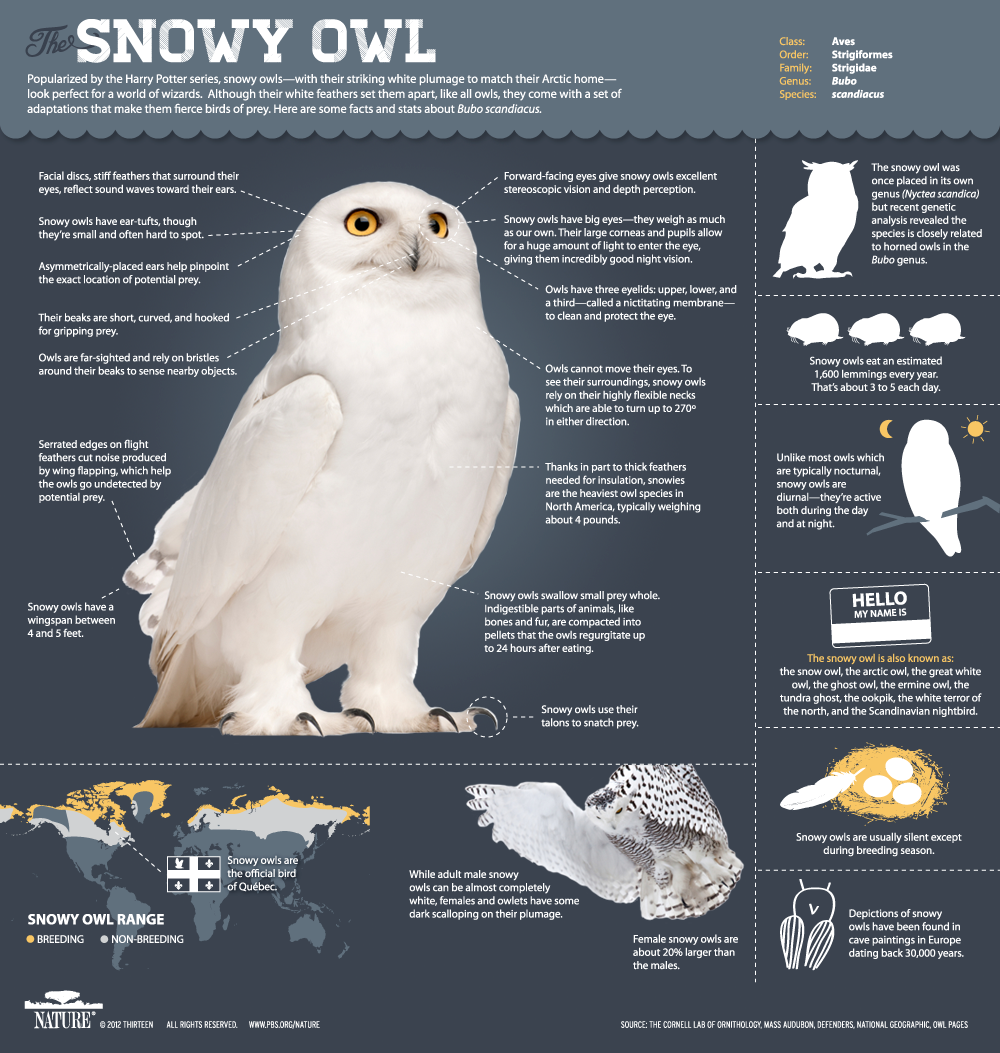 Animal Infographic: All About Snowy Owls (Bubo scandiacus) , PBS Nature