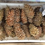 """The famous Korean pine cone, packed full of pine seeds. Everything that the tiger eats, depends upon these - the boar and deer are prime examples. It was amazing to think that these trees prop up the entire ecosystem - especially as the Korean pine is found only in relatively small patches that are themselves becoming rare due to illegal logging. I found these at a roadside stall that was also selling honey and the roots of wild ginseng."" (Photo: Chris Morgan)"