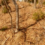 """A faint trail used by tigers along the top of a giant cliff overlooking the Pacific Ocean. We came across several spray marks on trees along trails like this one. Constantly marking their territories, tigers develop a scent map of their neighbors, and some pretty complex relationships evolve. For example, Park loved to talk about how male tigers play with their cubs, even though they play no part in rearing them."" (Photo: Chris Morgan)"