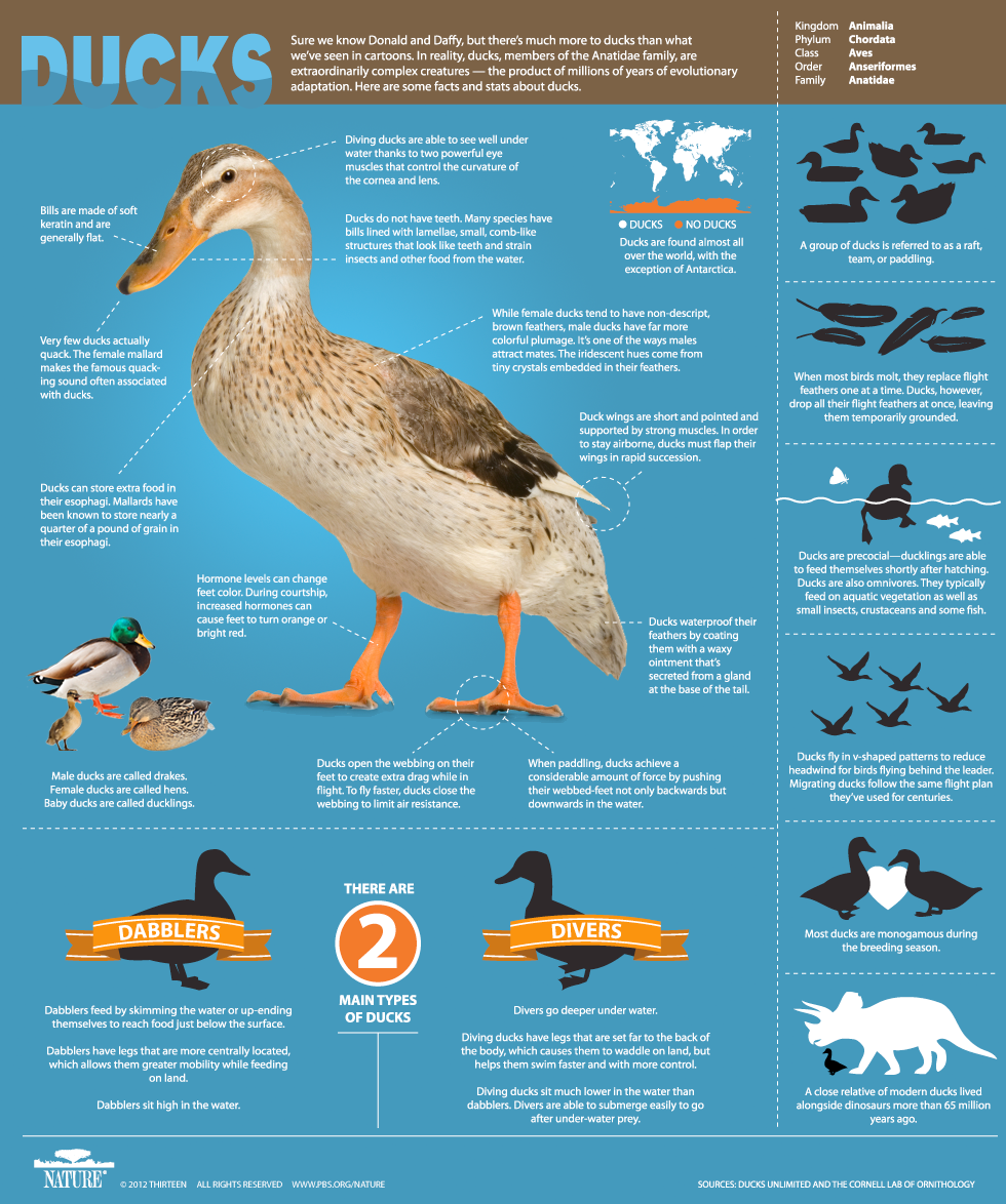 Duck Infographic, PBS Nature An Original DUCKumentary