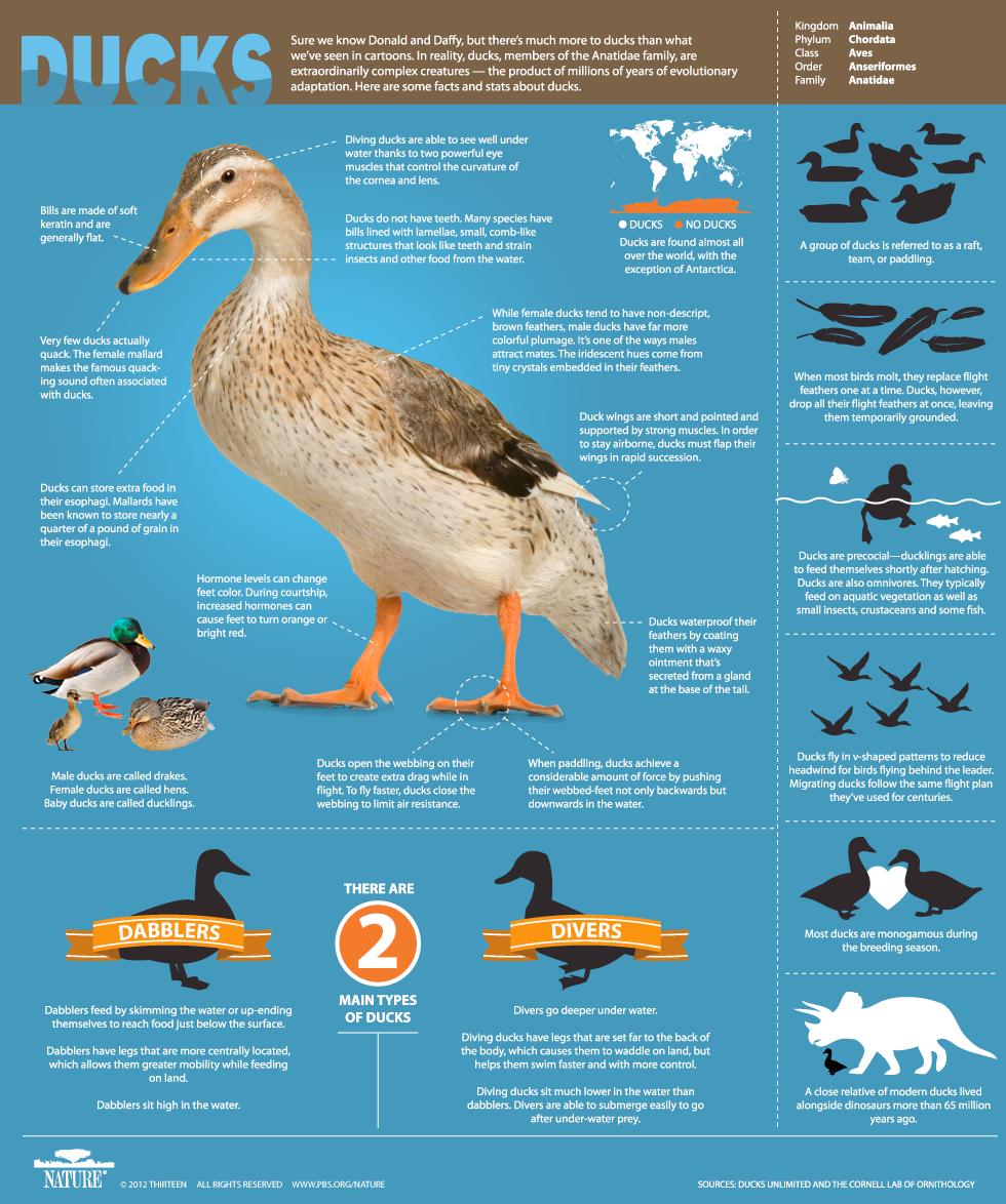 Duck Infographic, PBS Nature An Original DUCKumentary