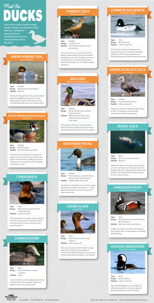 Duck Species Infographic
