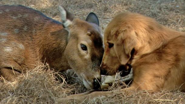 Amy (Sitka deer) and Ransom (golden retriever) share a few Eskimo kisses.