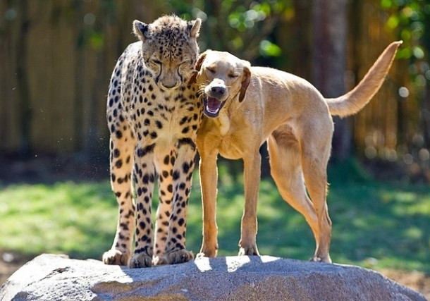 Kasi, cheetah and Mtani, dog, Animal Odd Couples, PBS Nature