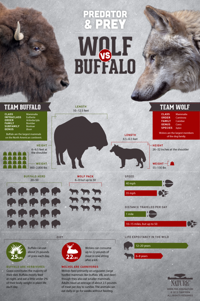 Cold Warriors: Wolves and Buffalo, Infographic: Wolf versus Buffalo