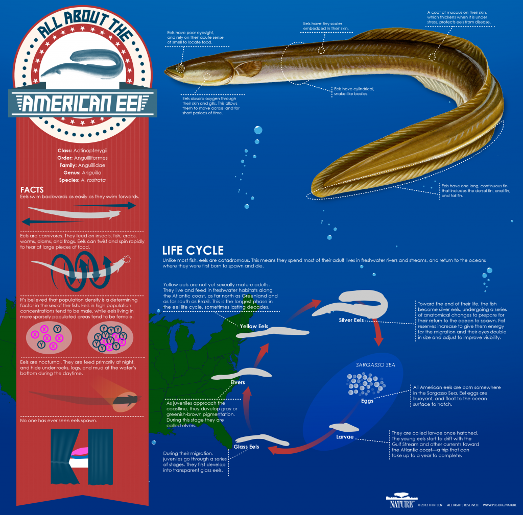 Eel Infographic, PBS Nature's The Mystery of Eels