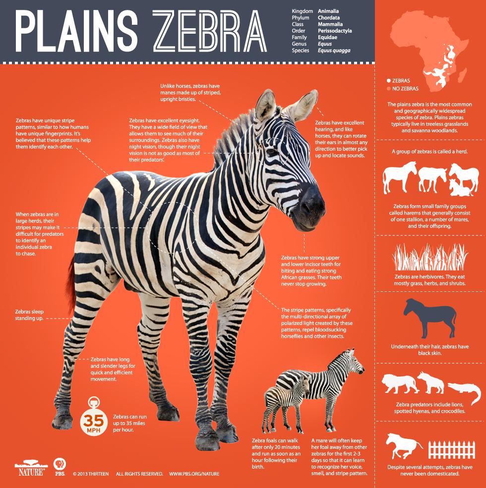 Zebra Infographic
