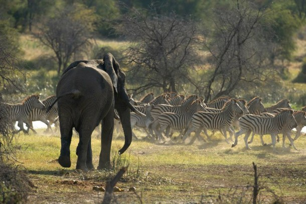 Zebras and Elephant, PBS Nature's Great Zebra Exodus