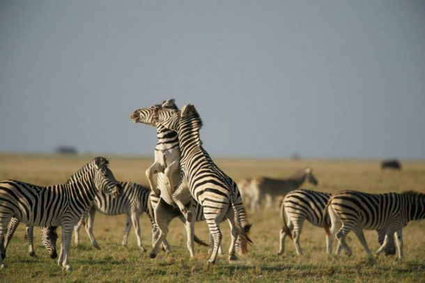 Zebras, PBS Nature's Great Zebra Exodus