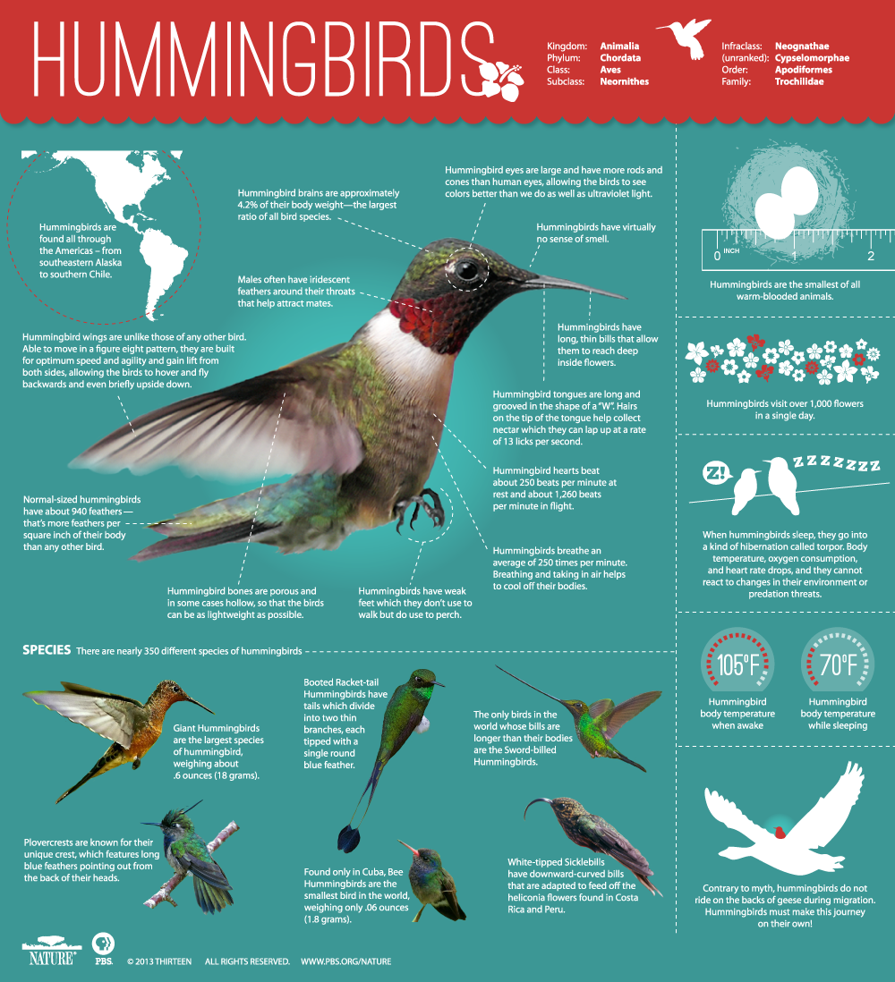Hummingbird Infographic, PBS Nature