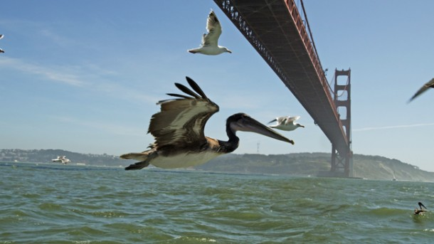 Brown pelicans flying under Golden Gate Bridge, San Francisco, USA