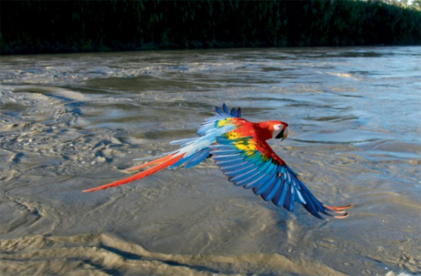 Scarlet Macaw in flight, Manu River, Peru