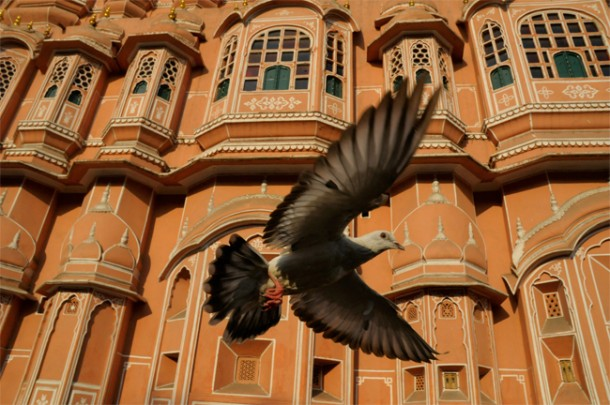 Rock Dove, Palace of the Winds, Jaipur, India