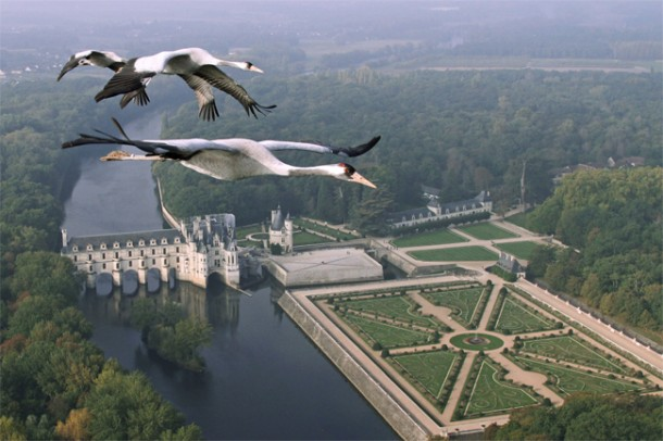 Common Cranes flying over Château Chenonceau, France