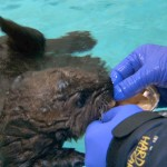 Otter 501 gets a first taste of solid food — raw clams fed by Monterey Bay Aquarium