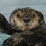 Female southern sea otter pup (Enhydra lutris nereis) 502. Photo credit: Randy Wilder/©Monterey Bay Aquarium