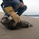 A stranded southern sea otter pup is being assesed by the Monterey Bay Aquarium