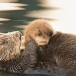 A Southern Sea Otter mom grooms her pup in Monterey Bay, California. Photo credit: ©Jim Capwell