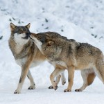 European Wolf (Canus lupus) in snow. ©Geslin Laurent/Naturepl.com