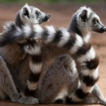 Two ring-tailed lemurs in an embrace. ©Rosie Thomas/BBC