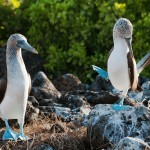 Blue-footed booby (Sula nebouxii) performing courtship dance as another watches. Santa Cruz Island, Galapagos, June. ©Tui De Roy/Naturepl.com