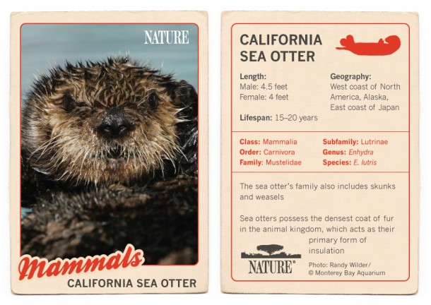 California-Sea-Otter-Trading-Card