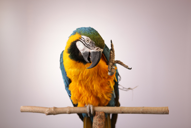 Blue and gold macaw, Foster Parrots, New England Exotic Wildlife Sanctuary, Hope Valley, RI. Photo credit: Joe Brunette