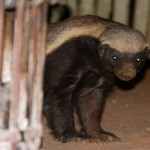 Honey badger appearing by the fireside at a safari camp in the Greater Kruger National Park. Will Benson/©Oxford Scientific Films and THIRTEEN Productions LLC.