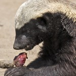 Honey Badger making a meal out of a small mammal. Moholoholo Wildlife Rehabilitation Centre, South Africa ©Moholoholo.