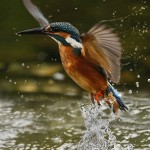 Kingfisher emerges from the river after a quick splash, Longford, Ireland Noel Marry/© Crossing the Line.