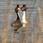 Pair of great crested grebes on water, Ireland Noel Marry/© Crossing the Line.