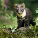 Young pine marten on woodland flow Noel Marry/© Crossing the Line.