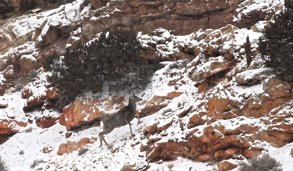 A mule deer doe near the Bighorn Canyon