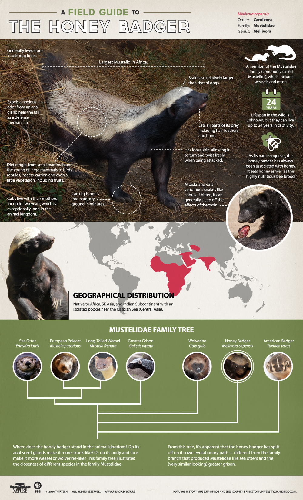 Honey-Badger-Infographic3