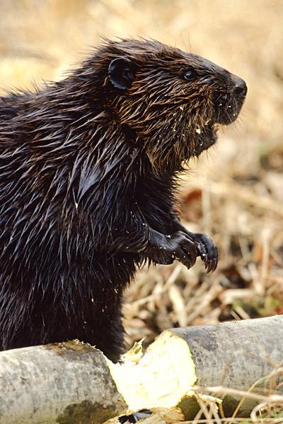 naat-beavers-factsheet