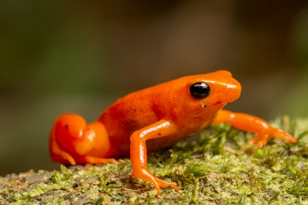 Golden Mantella/<i>Robin Moore</i>