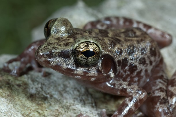Island Forest Frog/<i>Cameron Siler</i>