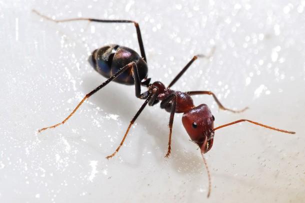 meat-eater-ant-feeding-on-honey