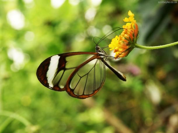 Greta_Oto_(Glasswing)_Butterfly_(5469322851)