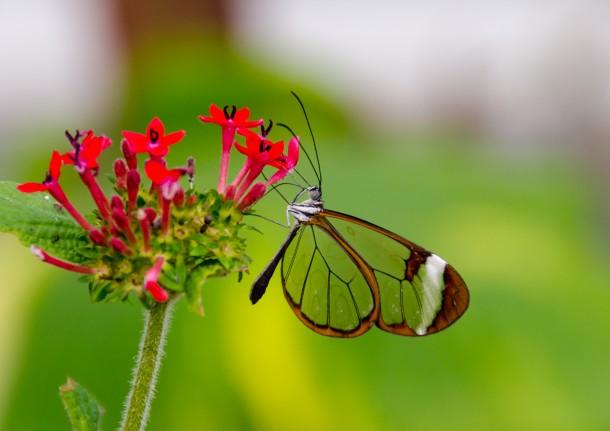 Greta Oto (Glasswing) Butterfly