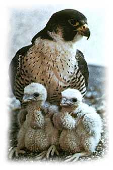 falcons life cycle