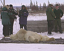 Bear lying down, shot by a tranquilizer.