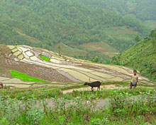 Young boy working in rice field.