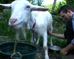 A man milks a goat.