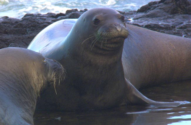 Close-Up of Monk Seal