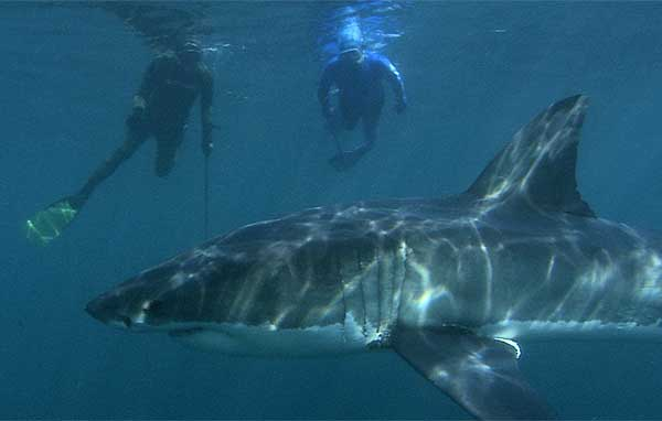 Jean-Michel, Andre and a great white shark