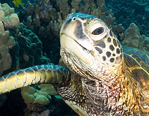 close-up view of sea turtle among coral